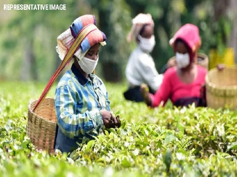 Assam-Government-to-increase-Daily-Wage-of-Tea-Workers-by-Rs.-38